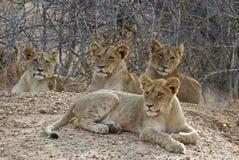Cubs di leone Immagini Stock