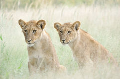 Cubs di leone nella Kalahari Fotografia Stock Libera da Diritti