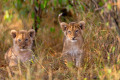 Cubs di leone svegli fotografia stock libera da diritti