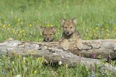Cubs di lupo grigio Fotografie Stock