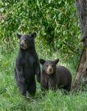Cubs di orso nero Immagini Stock Libere da Diritti