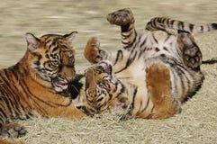 Cubs di tigre immagini stock