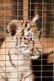 Cubs di tigre impotenti in una gabbia Fotografie Stock