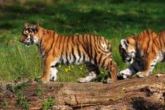 Cubs di tigre siberiani Fotografie Stock Libere da Diritti