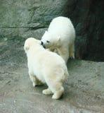Cubs di un orso polare Immagini Stock Libere da Diritti