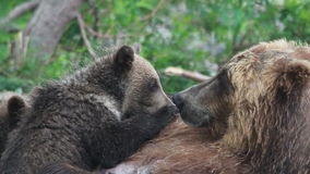 Cubs drink milk bears. Summer stock video