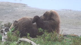 Cubs drink milk bears. Summer stock footage