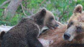 Cubs drink milk bears. stock footage