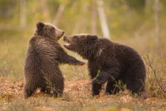 Cubs fighting Stock Images