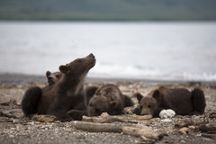 The cubs have a rest on the shore of lake Royalty Free Stock Images