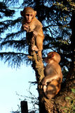 The cubs monkeys. The baby monkeys on a branch Royalty Free Stock Images