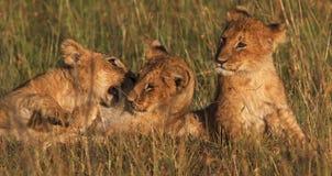 Cubs no jogo Fotos de Stock Royalty Free