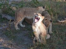 Three lion cubs teasing each other. Cubs from one family still together Royalty Free Stock Photography