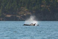 Cubs Orcas μητέρων Στοκ φωτογραφίες με δικαίωμα ελεύθερης χρήσης