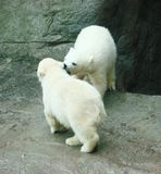 Cubs of a polar bear Royalty Free Stock Images