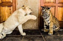 Cubs przy sztuką Zdjęcia Royalty Free