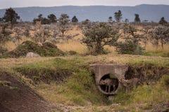 Cubs que juega en el tubo guardado por el guepardo imagen de archivo libre de regalías