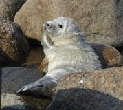 Cubs of Ringed seals stock photo