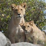 cubs serengeti львицы льва стоковая фотография