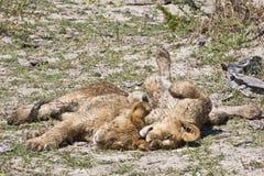 cubs snoozing льва влажный Стоковая Фотография