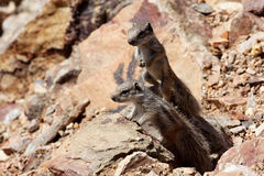 Cubs Striped Ground Squirrel, Xerus erythropus, Morocco Stock Photos