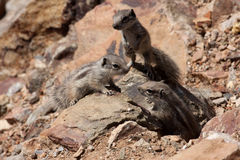 Cubs Striped Ground Squirrel, Xerus erythropus, Morocco Royalty Free Stock Image