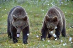 Cubs Ursus Arctos бурого медведя в лесе лета Стоковые Фото