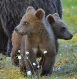 The cubs of wild brown bear (Ursus arctos) in a summer forest. Natural green background Stock Photo