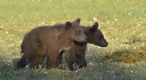 The cubs of  wild brown bear (Ursus arctos) Stock Images