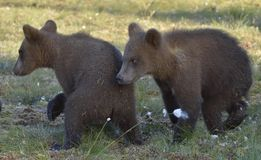 The cubs of  wild brown bear (Ursus arctos) in a summer meadow Royalty Free Stock Photos