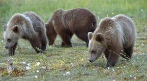 The cubs of  wild brown bear (Ursus arctos) Stock Photos