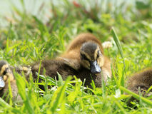 Cubs of wild duck Royalty Free Stock Image
