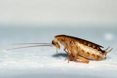 Cucaracha Imágenes de archivo libres de regalías