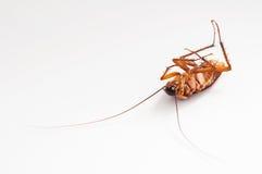 Cucaracha Fotos de archivo libres de regalías