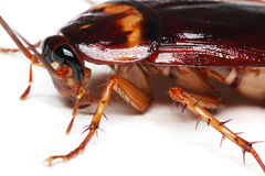 Cucaracha Fotografía de archivo