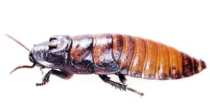 Cucaracha aislada Fotos de archivo libres de regalías