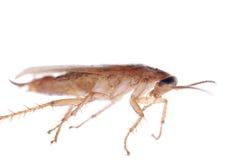 Cucaracha alemana aislada Fotografía de archivo libre de regalías