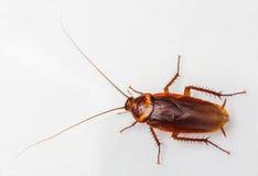 Cucaracha americana Fotografía de archivo libre de regalías