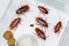 Cucaracha americana Imagen de archivo
