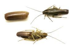 Cucaracha con el huevo Imagen de archivo libre de regalías