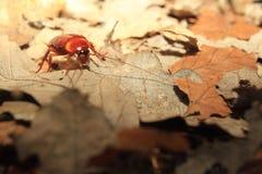 Cucaracha de la cabeza de muerte imagen de archivo libre de regalías