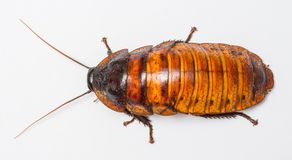 Cucaracha de Madagascar Fotografía de archivo libre de regalías