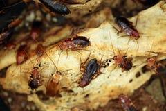 Cucaracha de Turkestan (lateralis del Blatta), también conocida como el oxidado Fotografía de archivo