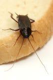 Cucaracha en una rebanada de pan fotos de archivo libres de regalías