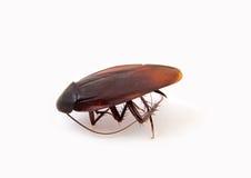 Cucaracha grande Fotos de archivo