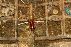 Cucaracha grande en Tailandia Foto de archivo