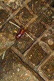 Cucaracha grande en Tailandia Imagen de archivo libre de regalías
