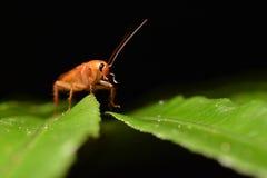 Cucaracha larga de la raya de la necesidad Imágenes de archivo libres de regalías