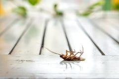 Cucaracha mort photos stock