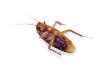 Cucaracha muerta Foto de archivo libre de regalías